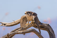 Prairie Falcon Taking Flight Stock Photos