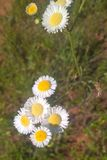 Prairie Fleabane Stock Photos