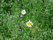 Prairie fleabane in the meadow Stock Photo