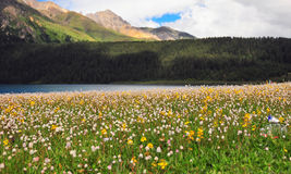 Prairie full of flowers ,High Mountain and Lake Cuopu Royalty Free Stock Photography