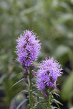 Prairie Gay Feather - Blazing Star Royalty Free Stock Photo