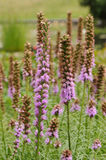 Prairie Gay Feather. Liatris spicata, the dense blazing star or prairie gay feather. It is commonly grown in gardens for its showy purple flowers (pink or white Stock Photography