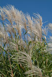 Prairie Grass 1. A stand of prairie grass on a sunny fall day Stock Images