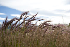 Prairie grass. Prairie grasses on the plains of Tierra del Fuego Stock Image