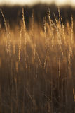 Prairie Grass Abstract. Prairie grass backlit by the golden light of sunset Stock Images