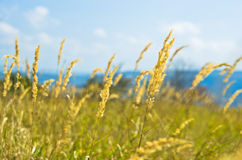 Prairie grass against sunny sky with white clouds at summer Royalty Free Stock Photography