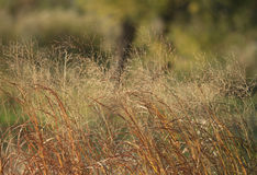 Prairie Grass Background Royalty Free Stock Photography