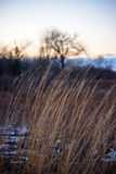 Prairie grass blowing in wind at sunset in winter. Closeup of golden yellow grasses in a meadow bending in the breeze with patches of snow on the ground and soft royalty free stock image