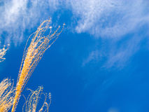 Prairie grass blue sky background Royalty Free Stock Image