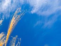 Prairie grass blue sky background. Tall golden native prairie grass with blue sky background and wispy clouds. Landscape orientation royalty free stock image