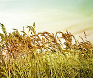 Prairie Grass. Royalty Free Stock Images