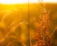 Prairie grass in the light of  setting sun Royalty Free Stock Photos