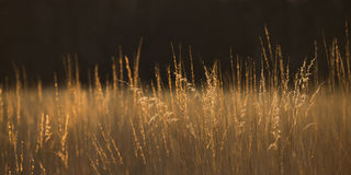 Prairie Grass Panoramic Abstract. Panoramic prairie grass backlit by the golden light of sunset Royalty Free Stock Photography