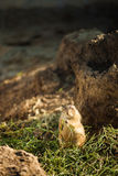 Prairie hond Stock Foto