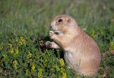 Prairie hond Royalty-vrije Stock Foto's
