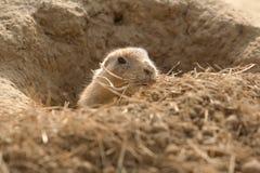 Prairie hond Stock Afbeelding