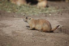 Prairie hond Royalty-vrije Stock Afbeeldingen