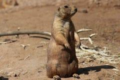 Prairie hond Royalty-vrije Stock Fotografie