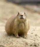 Prairie hond Stock Afbeeldingen