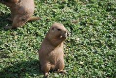 Prairie hond Stock Foto's