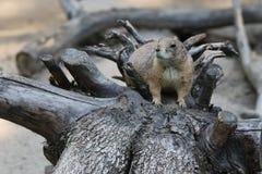Prairie Hund Stockbild