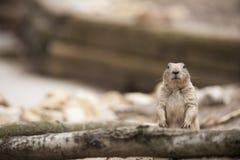 Prairie Hund Stockbilder