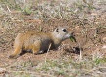 Prairie Hund Stockfotografie