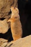 Prairie Hund Lizenzfreie Stockbilder