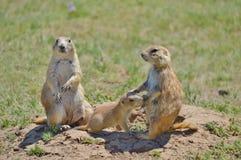 Prairie Hund Stockfotos