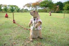 Prairie Hund Lizenzfreies Stockbild