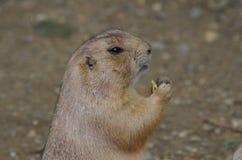 Prairie Hund Lizenzfreie Stockfotografie