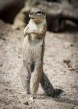 Prairie Hund Klasse Cynomys Lizenzfreies Stockfoto