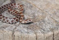 Prairie Kingsnake Stock Photos