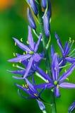Prairie lily Stock Image