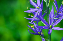 Prairie lily Royalty Free Stock Image