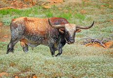 Prairie Longhorn Royalty Free Stock Photo