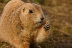 Prairie Marmot à queue noire - ludovicianus de Cynomys Images stock
