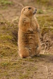 Prairie Marmot à queue noire - ludovicianus de Cynomys Photo stock