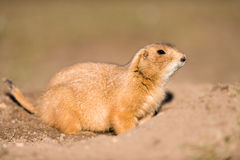 Prairie Marmot amd Burrow Royalty Free Stock Images