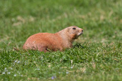 Prairie Marmot Stock Images