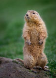 Prairie Marmot on Lookout Stock Images