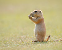 Prairie Marmot Pup Standing. A cute black tailed prairie marmot (aka prairie dog) pup stands up eating on green grass Stock Image