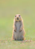 Prairie Marmot Pup Standing with Paws and Ears Down Royalty Free Stock Photography