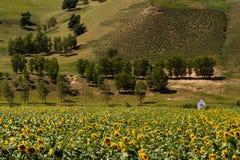 Prairie met zonnebloemen onder de witte wolken in Binnenmongolië stock afbeeldingen