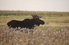 Prairie Moose