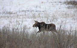 Prairie Moose Canada Stock Images