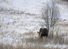 Prairie Moose Canada Stock Photography