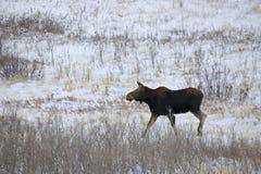 Prairie Moose Canada Royalty Free Stock Photos