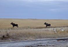 Prairie Moose Saskatchewan royalty free stock photography