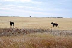 Prairie Moose Saskatchewan royalty free stock photos